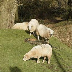 Forest of Dean Sheep